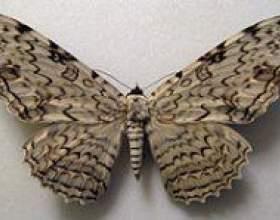 Метелики. Розмальовки фото