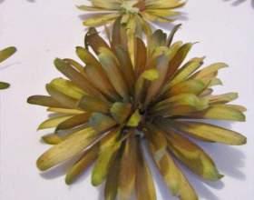 Хризантеми з насіння ясена фото